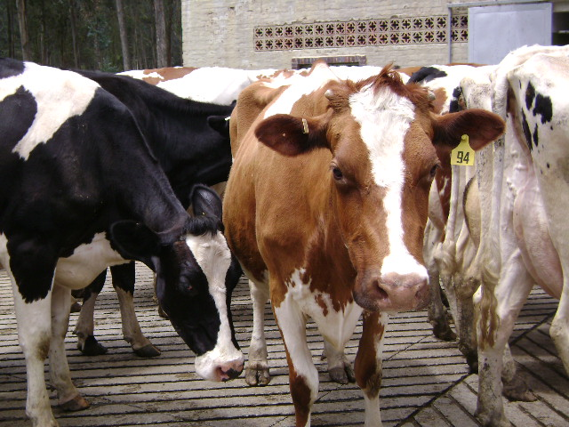 Conference on Brucellosis begins at Delhi, 3 new ... Brucellosis In Cattle
