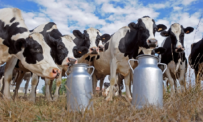 Image result for cow milk