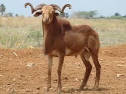 CHEVEDU SHEEP