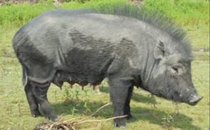 DOOM PIG