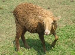 KENDRAPADA SHEEP