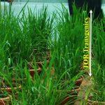 rice seedling 2